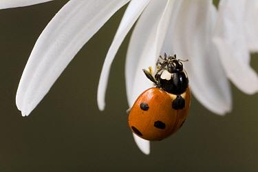 Ladybug (Coccinellidae) on flower petal, Germany  -  Ingo Arndt