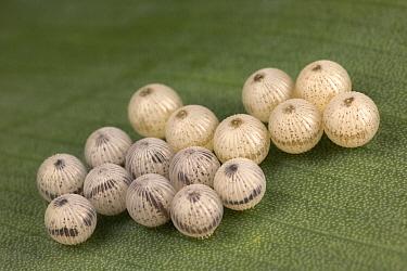 Blue Morpho (Morpho peleides) butterfly eggs, Costa Rica  -  Ingo Arndt