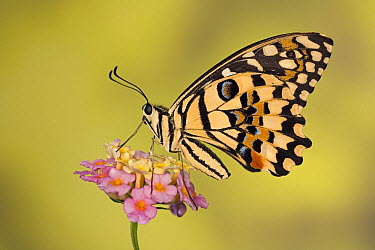 Common Lime (Papilio demoleus) butterfly feeding on flower, Asia  -  Ingo Arndt