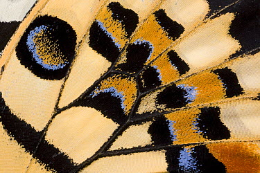 Common Lime (Papilio demoleus) butterfly wing detail showing false eyespot, Asia  -  Ingo Arndt