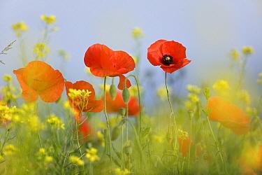 Red Poppy (Papaver rhoeas) flowers, Europe  -  Ingo Arndt