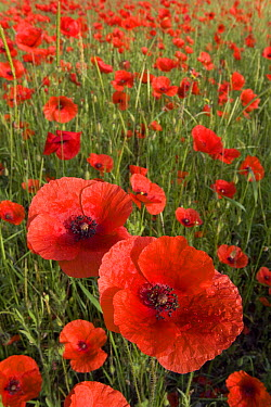 Red Poppy (Papaver rhoeas) field, Europe  -  Ingo Arndt