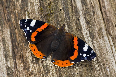 Red Admiral (Vanessa atalanta) butterfly, Europe  -  Ingo Arndt
