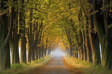 Tree-lined road with fall colored trees, Europe  -  Ingo Arndt