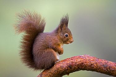 Eurasian Red Squirrel (Sciurus vulgaris) on branch, Europe  -  Ingo Arndt