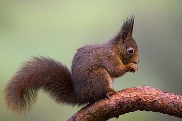 Eurasian Red Squirrel (Sciurus vulgaris) eating, Europe  -  Ingo Arndt
