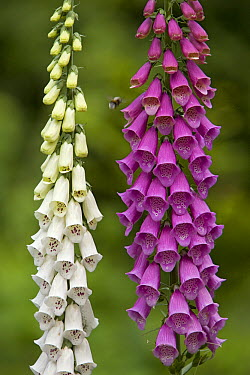 Purple Foxglove (Digitalis purpurea) flowers, Europe  -  Ingo Arndt
