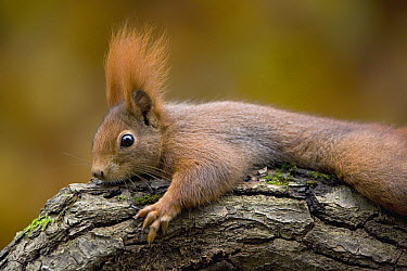 Eurasian Red Squirrel (Sciurus vulgaris) resting on branch, Europe  -  Ingo Arndt