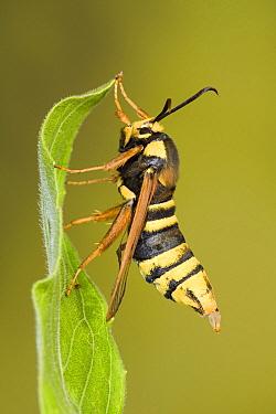 Hornet Moth (Sesia apiformis), a hornet mimick, Europe  -  Ingo Arndt