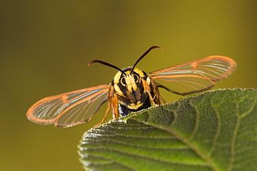 Hornet Moth (Sesia apiformis), a hornet mimic, Europe  -  Ingo Arndt