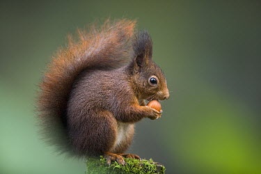 Eurasian Red Squirrel (Sciurus vulgaris) eating nut, Europe  -  Ingo Arndt