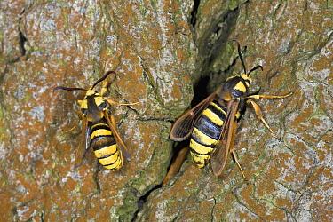 Hornet Moth (Sesia apiformis) pair, hornet mimics, Europe  -  Ingo Arndt