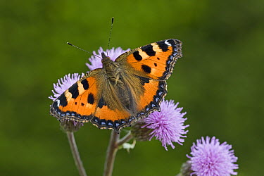 Small Tortoiseshell (Aglais urticae) butterfly on flower, Europe  -  Ingo Arndt