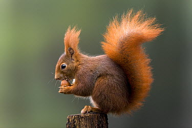 Eurasian Red Squirrel (Sciurus vulgaris) eating nut, Europe  -  Ingo Arndt