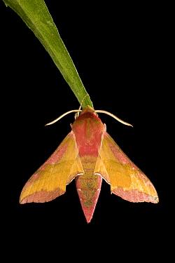 Small Elephant Hawk Moth (Deilephila porcellus) at night, Europe  -  Ingo Arndt