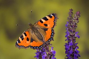 Small Tortoiseshell (Aglais urticae) butterfly on flowers, Europe  -  Ingo Arndt