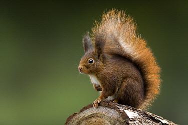 Eurasian Red Squirrel (Sciurus vulgaris) portrait, Europe  -  Ingo Arndt