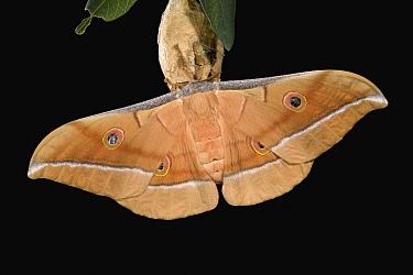 Chinese Oak Silk Moth (Antheraea pernyi) at night, Asia  -  Ingo Arndt