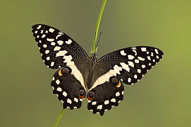 Common Lime (Papilio demoleus) butterfly, southern Asia  -  Ingo Arndt