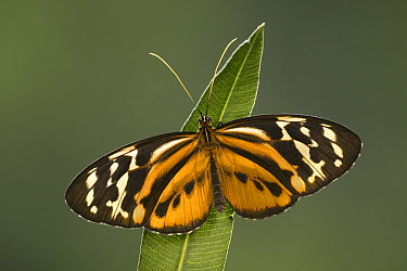 Tiger Heliconian (Heliconius ismenius) butterfly, South America  -  Ingo Arndt