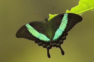 Emerald Swallowtail (Papilio palinurus) butterfly, southern Asia  -  Ingo Arndt