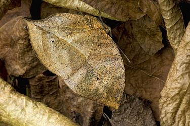 Leaf Butterfly (Kallima paralekta) camouflaged in leaf litter, southern Asia  -  Ingo Arndt