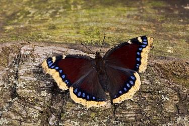Mourning Cloak (Nymphalis antiopa) butterfly, Europe  -  Ingo Arndt