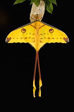 Madagascar Moon Moth (Argema mittrei), Madagascar  -  Ingo Arndt