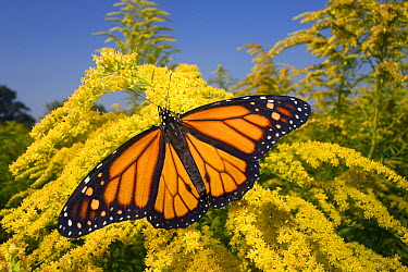 Monarch (Danaus plexippus) butterfly male feeding on nectar of Goldenrod during migration, East Coast, USA  -  Ingo Arndt