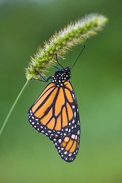 Monarch (Danaus plexippus) butterfly covered with dew will fly away as soon as it has been warmed up by the sun, East Coast, USA  -  Ingo Arndt