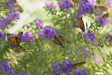 Monarch (Danaus plexippus) butterflies feeding on Asters to rebuild their reserves, Cape May, New Jersey  -  Ingo Arndt