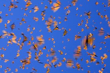 Monarch (Danaus plexippus) butterflies flying during a warm day, Michoacan, Mexico  -  Ingo Arndt
