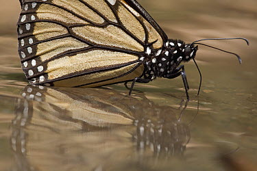Monarch (Danaus plexippus) butterfly drinking water and taking up minerals, Michoacan, Mexico  -  Ingo Arndt
