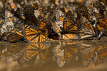 Monarch (Danaus plexippus) butterflies gathering to drink water and take up minerals, Michoacan, Mexico  -  Ingo Arndt