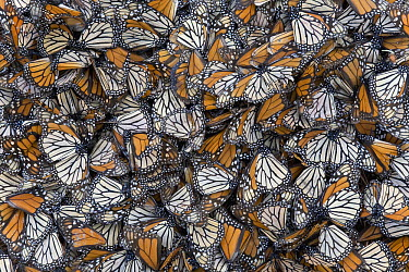 Monarch (Danaus plexippus) butterflies dead on the ground after wet and cold weather, Michoacan, Mexico  -  Ingo Arndt