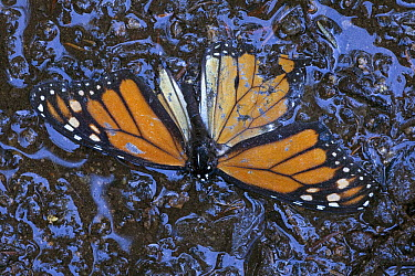 Monarch (Danaus plexippus) butterfly dead on the ground after wet and cold weather, Michoacan, Mexico  -  Ingo Arndt