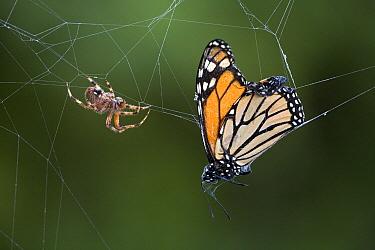 Monarch (Danaus plexippus) butterfly caught in spider web, Cape May, New Jersey  -  Ingo Arndt