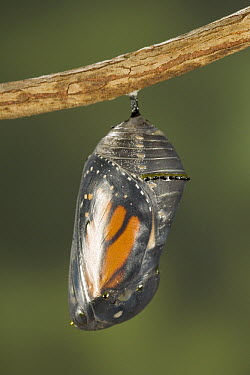 Monarch (Danaus plexippus) butterfly clearly visible through chrysalis, North America (Sequence 2 of 8)  -  Ingo Arndt