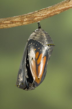 Monarch (Danaus plexippus) butterfly chrysalis opening up, North America (Sequence 3 of 8)  -  Ingo Arndt