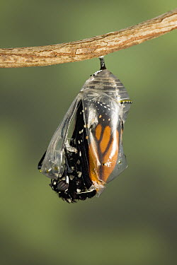 Monarch (Danaus plexippus) butterfly breaking out of chrysalis, North America (Sequence 4 of 8)  -  Ingo Arndt