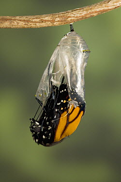 Monarch (Danaus plexippus) butterfly emerging from the chrysalis, North America (Sequence 5 of 8)  -  Ingo Arndt