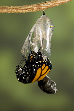 Monarch (Danaus plexippus) butterfly is suspended from the chrysalis and starts to pump fluid into its wings, North America (Sequence 6 of 8)  -  Ingo Arndt