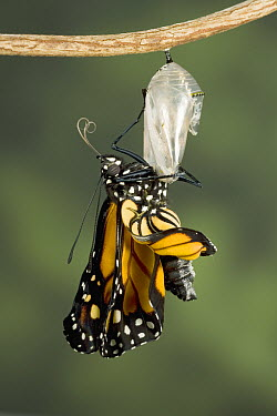 Monarch (Danaus plexippus) butterfly is suspended from the chrysalis and starts to pump fluid into its wings, North America (Sequence 7 of 8)  -  Ingo Arndt