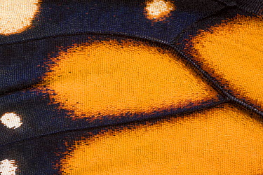 Monarch (Danaus plexippus) butterfly wing of newly hatched animal, North America  -  Ingo Arndt