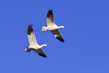 Snow Goose (Chen caerulescens) pair flying, Bosque del Apache National Wildlife Refuge, New Mexico  -  Ingo Arndt