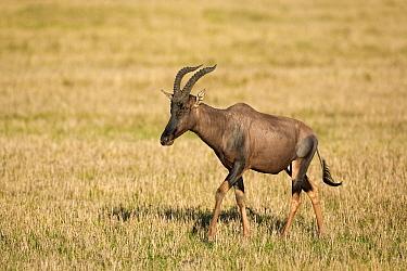 Topi (Damaliscus lunatus) walking, Masai Mara National Reserve, Kenya  -  Ingo Arndt