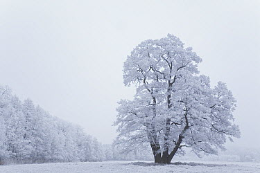 Landscape with Oak tree and grasses covered with hoar frost, Germany  -  Ingo Arndt