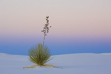 Soaptree Yucca (Yucca elata) in gypsum sand, White Sands National Monument, Chihuahua Desert, New Mexico  -  Ingo Arndt