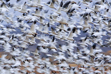 Snow Goose (Chen caerulescens) flock flying during migration, Bosque del Apache National Wildlife Refuge, New Mexico  -  Ingo Arndt