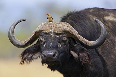 Cape Buffalo (Syncerus caffer) with Red-billed Oxpecker (Buphagus erythrorhynchus) on its head, Lake Nakuru National Park, Kenya  -  Ingo Arndt